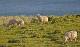 Schafe mit einer Ansicht - Neuseeland-Küste Lizenzfreie Stockfotos
