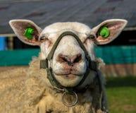 Schafe mit einer Zaumnahaufnahme Lizenzfreie Stockfotos