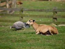 Schafe mit Geflügel Lizenzfreie Stockfotografie