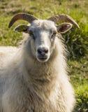 Schafe mit Hörnern auf Island Lizenzfreie Stockfotos