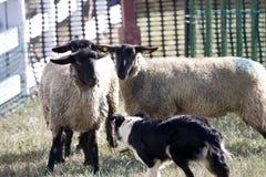 Schafe mit Hund Stockfotografie