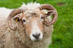 Schafe mit Hupen stockfoto
