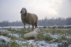 Schafe mit ihrem Lamm neugeboren Stockfoto