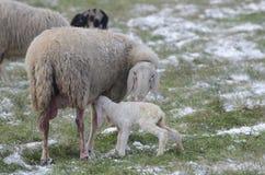 Schafe mit ihrem Lamm neugeboren Lizenzfreies Stockbild