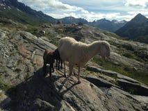 Schafe mit ihren Jungen in den Alpen Stockbild