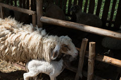 Schafe mit Käfig Stockbild