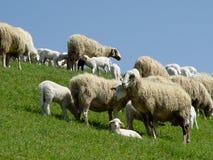Schafe mit Lämmern Lizenzfreies Stockfoto