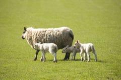 Schafe mit Lämmern Lizenzfreie Stockbilder