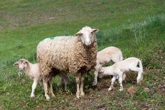 Schafe mit Lämmern Lizenzfreies Stockbild