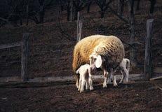 Schafe mit Lämmern Stockfotos