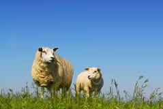 Schafe mit Lamm Stockfoto