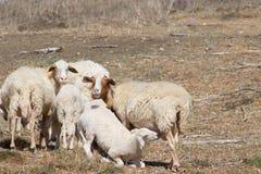 Schafe mit Lamm Stockfotografie
