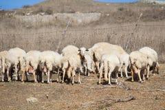 Schafe mit Lamm Lizenzfreies Stockfoto