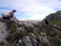 Schafe mit Lamm auf Felsen Stockbilder