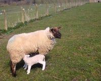 Schafe mit Lamm, in Northumberland, England, Großbritannien Lizenzfreies Stockbild