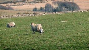 Schafe mit neuem Lamm auf dem Gebiet stock footage