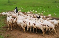 Schafe mit Schäferhunden Stockbild
