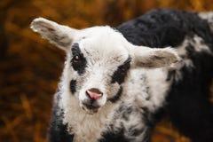 Schafe mit schwarzen Kreisen um Augen und auf Backen lizenzfreies stockbild