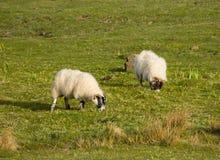 Schafe mit wolligem Mantel und Hörner und schwarzes Gesicht Lizenzfreies Stockfoto