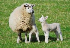 Schafe mit zwei Lämmern Stockbild