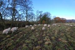 Schafe nahe dem Wasser Northumberland des Teufels Lizenzfreie Stockfotografie