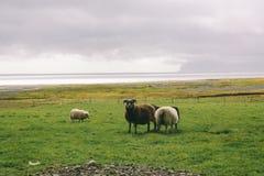 Schafe nahe Ozean in Island, schöne Landschaft Stockbild