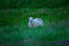 Schafe in Nationalpark Skaftafell lizenzfreies stockfoto