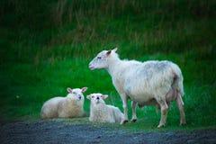 Schafe in Nationalpark Skaftafell lizenzfreie stockfotos