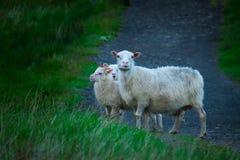 Schafe in Nationalpark Skaftafell stockfotos