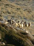 Schafe - Nordzypern Stockbild