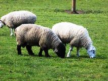 Schafe, in Northumberland, Großbritannien Lizenzfreie Stockfotos