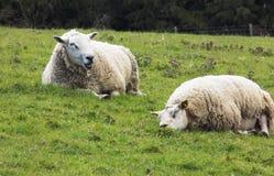 Schafe in Northumerland, England Großbritannien Stockbilder