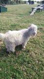 Schafe oder Ziege oder sogar Hund lizenzfreies stockfoto