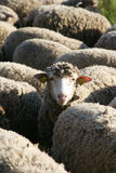 Schafe, Provence-Landschaft Lizenzfreie Stockfotografie
