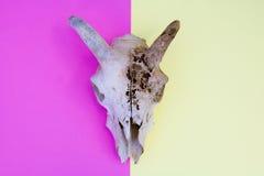 Schafe Ram Skull On Multicoloured Yellow und rosa abstrakter Hintergrund Lizenzfreie Stockfotografie