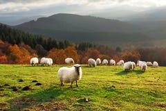 Schafe am Sonnenuntergang Stockfotografie