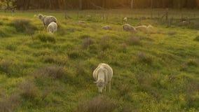 Schafe am Sonnenuntergang stock video
