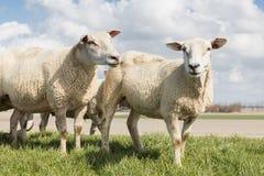 Schafe am sonnigen Tag im Frühjahr auf einen niederländischen Graben Lizenzfreies Stockbild