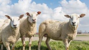 Schafe am sonnigen Tag im Frühjahr auf einen niederländischen Graben Stockfotografie