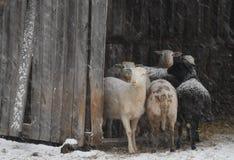 Schafe stecken in einem Schutz während eines Schneesturms die Köpfe zusammen Lizenzfreie Stockfotos
