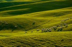 Schafe in Toskana lizenzfreies stockfoto