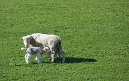 Schafe u. ihr Lamm im Frühjahr auf Neuseeland-Bauernhof. Lizenzfreies Stockfoto