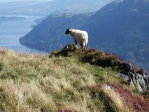 Schafe u. Ullswater Stockfotos