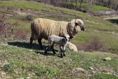 Schafe und Babylamm Stockbild