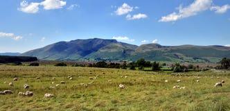 Schafe und Blencathra Lizenzfreies Stockfoto