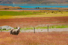 Schafe und Farben Lizenzfreies Stockfoto