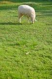 Schafe und Feld Lizenzfreies Stockfoto