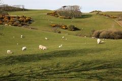 Schafe und Felder auf Nordküste auf Anglesey, Wales Lizenzfreies Stockfoto