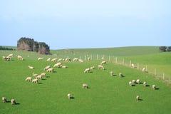 Schafe und Glassland Lizenzfreie Stockfotos