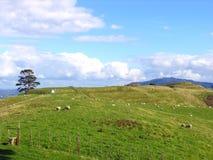 Schafe und Glassland Stockfotografie